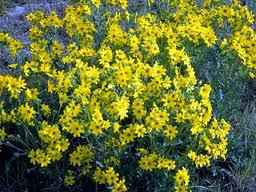 englemann daisies