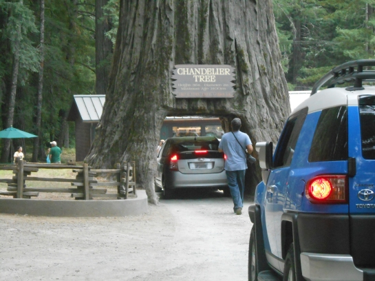 Adventures 2013 north to alaska page 2 here goes one car through the chandelier tree btw the tree is 315 feet tall 21 feet in diameter and estimate to be 3400 years old aloadofball Images